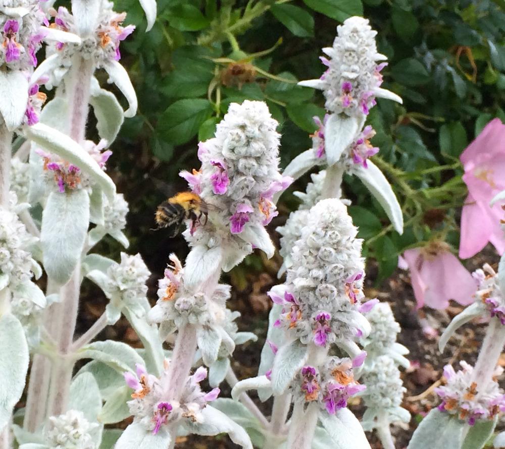 bumblebee on stachys byzantina (lambs ears)