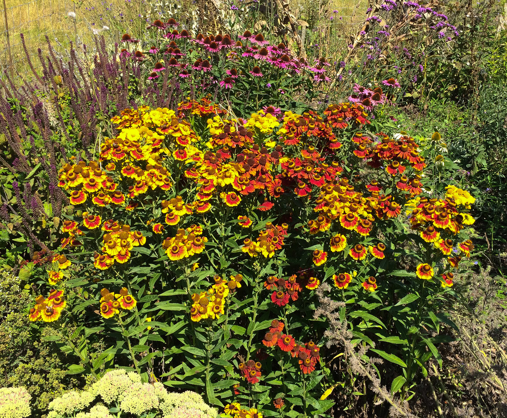 our square meter of helenium autumnale with 32 bees counted