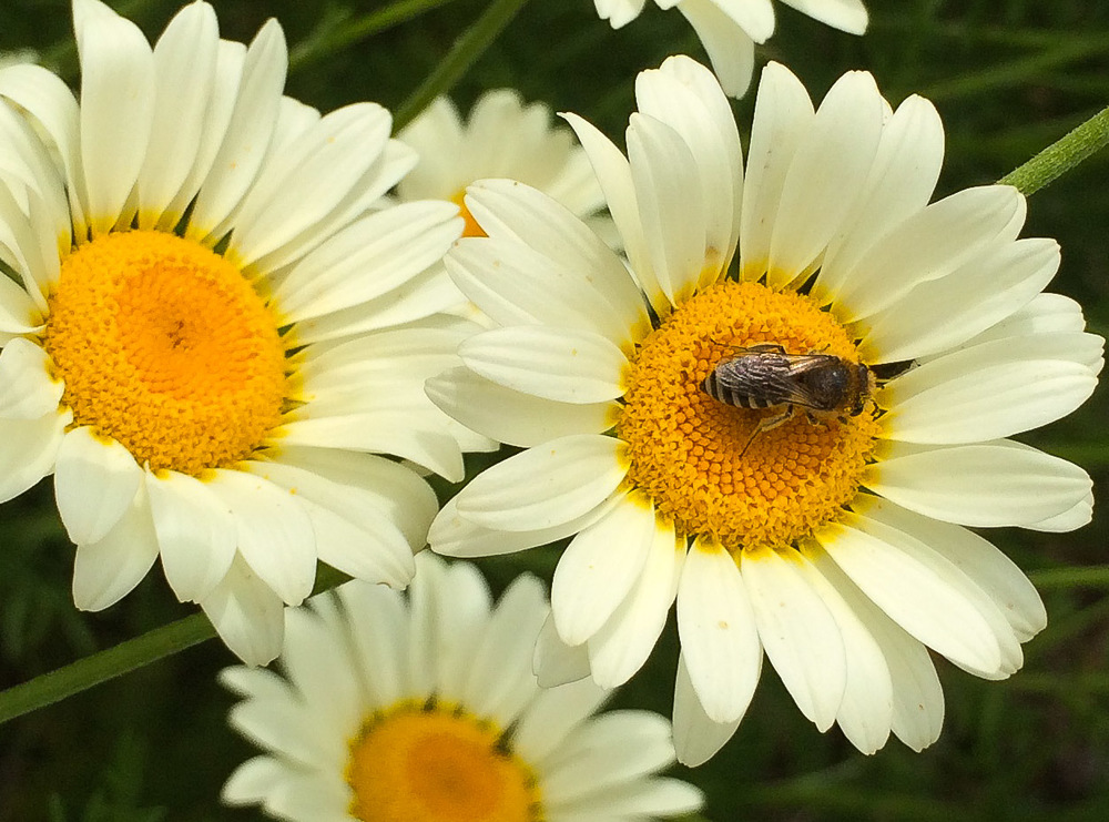 Anthemis tinctoria and a solitary bee: Colletes species
