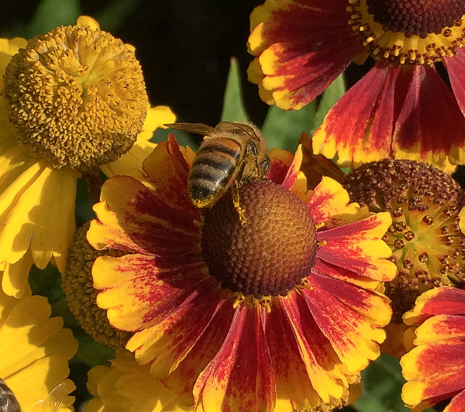 Helenium autumnale- ranked top in our research