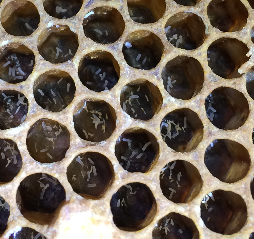 Multiple eggs in the cells indicating a worker bee has laid them