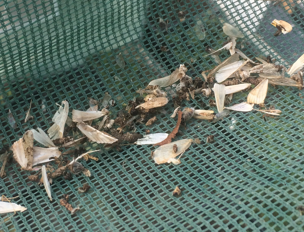 Some of the grizzly remains of moths (and the odd bee) in the shade netting in our polytunnel