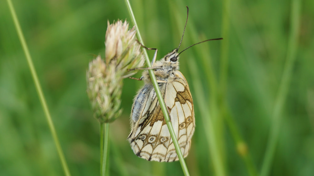 Marbled white - grass breeding