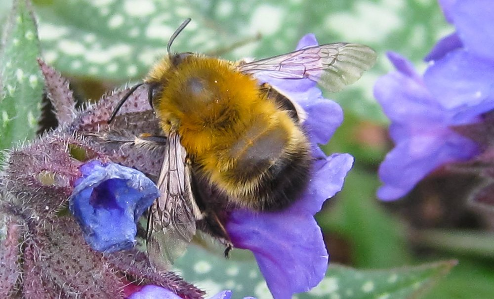 Hairy-footed flower bee on pulmonaria