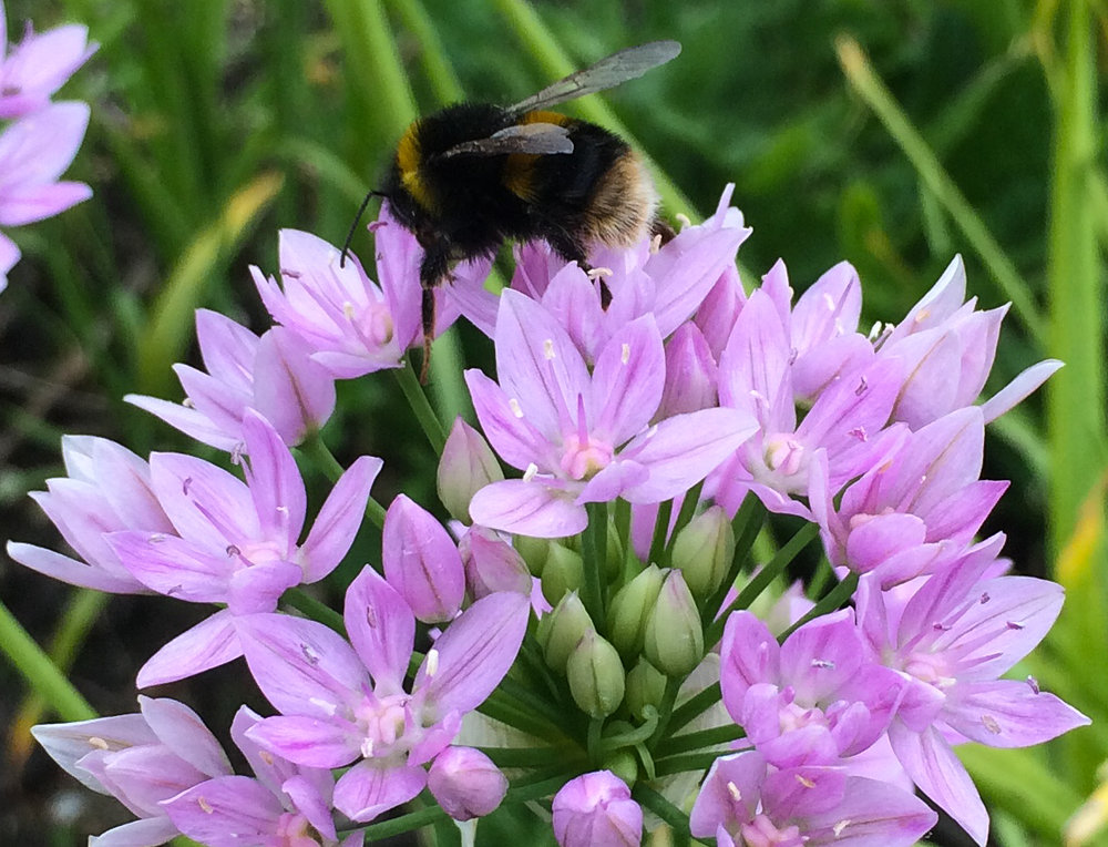 allium roseum bumble.jpg