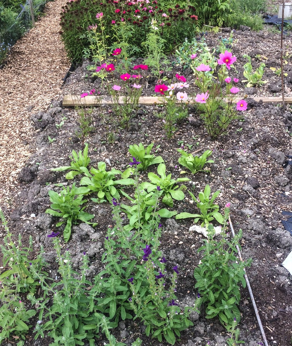 Newly planted annuals in sq meter blocks