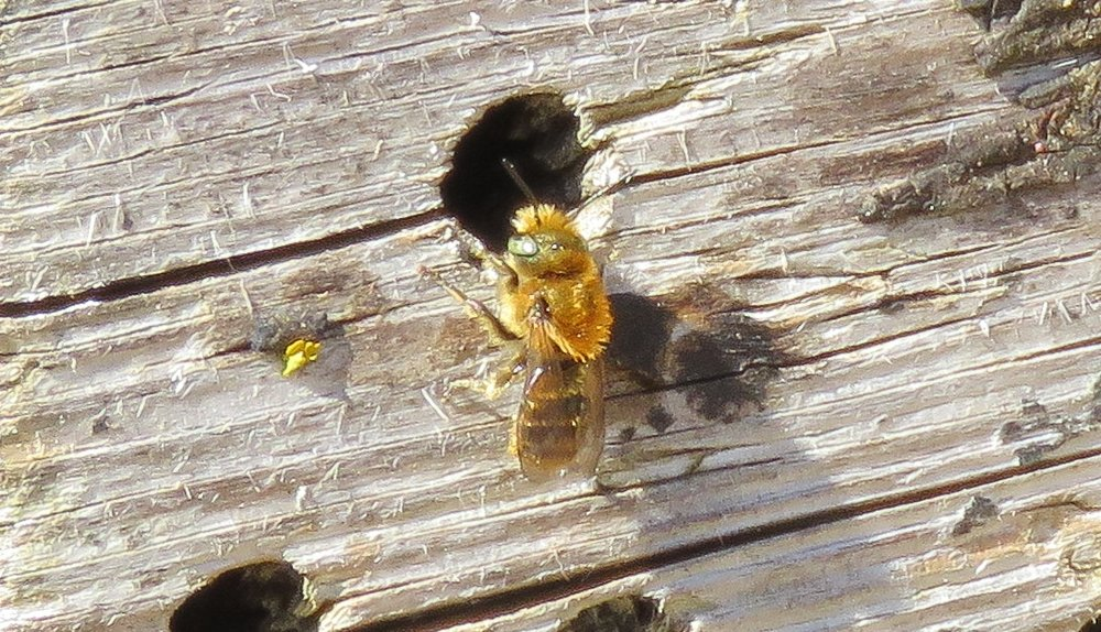 Mason bee nesting back in May