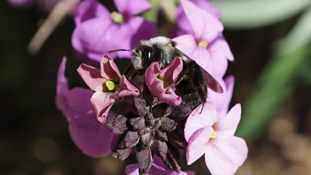 Erysimum 'Bowles mauve' with ashy mining bee