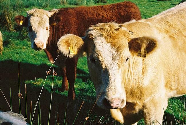 6-cows.jpg