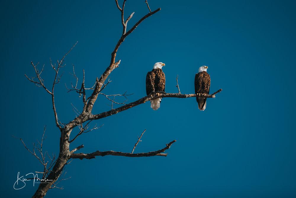 Wisconsin Dells-Nature-American Bald Eagle-2.jpg