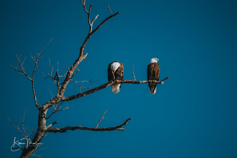 Wisconsin Dells-Nature-American Bald Eagle-1.jpg