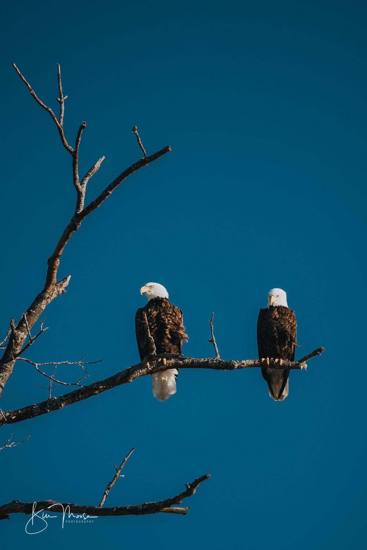 Wisconsin Dells-Nature-American Bald Eagle-3.jpg