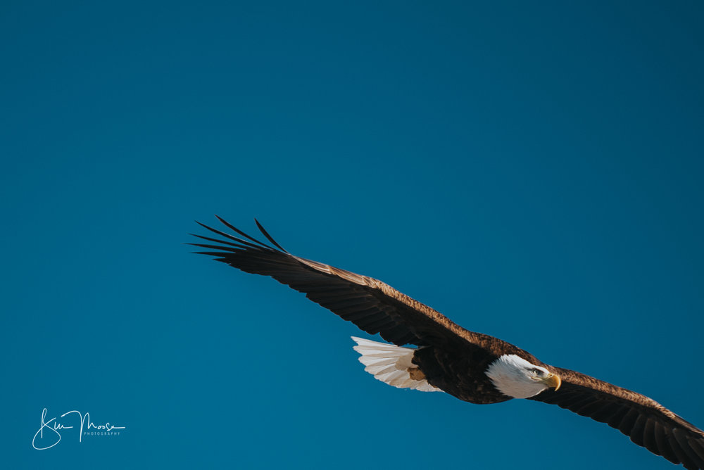 Wisconsin Dells-Nature-American Bald Eagle-7.jpg