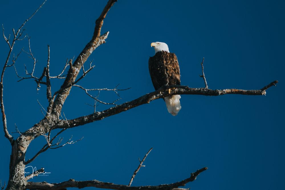Wisconsin Dells-Nature-American Bald Eagle-10.jpg