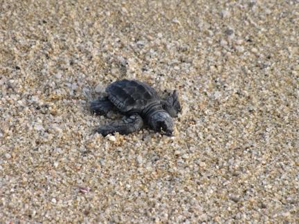 Volunteer to help rescue endangered sea turtles