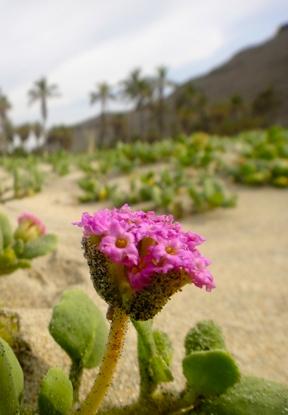 Desert flowers at Las Palmas beach