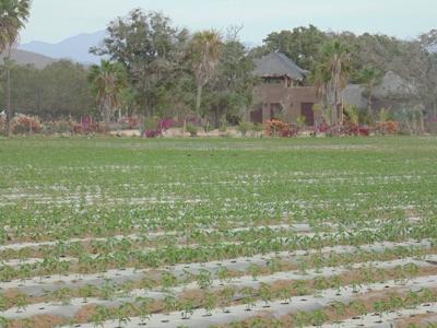 Pepper field across the street from La Hacienda entrance
