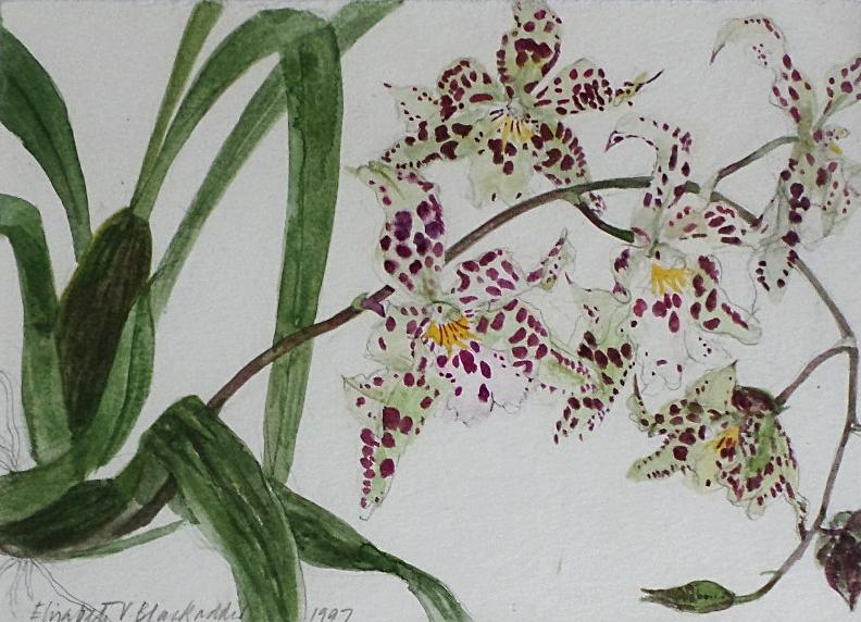 Elizabeth Blackadder for sale orchid