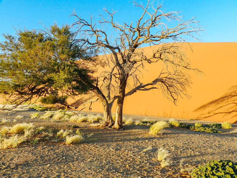 namib desert tree