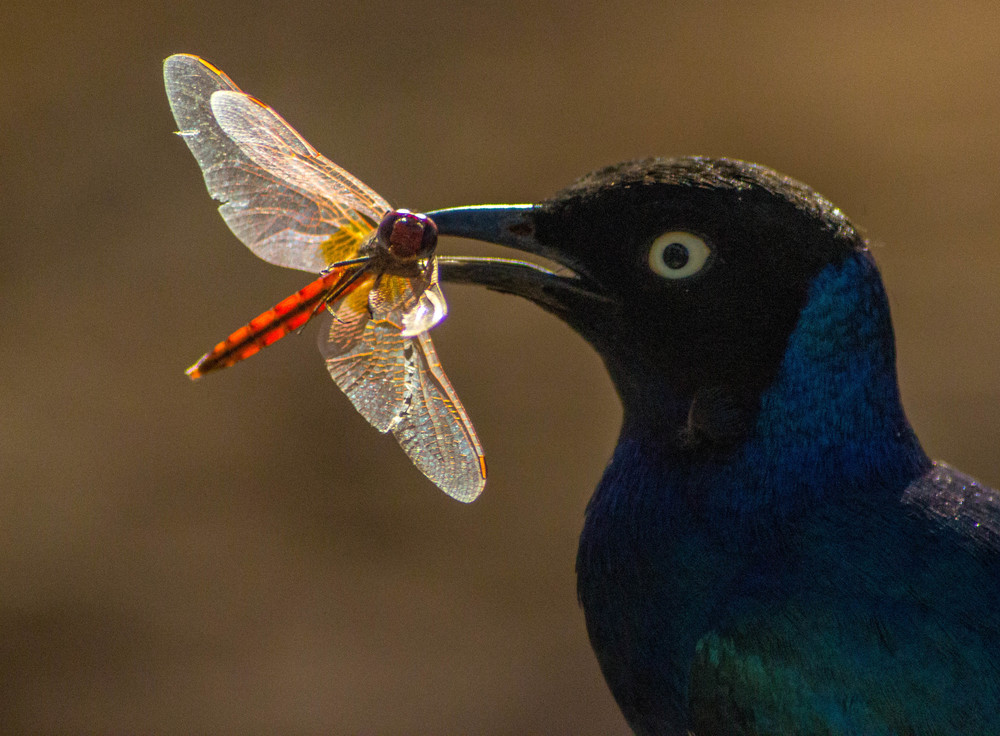 My favourite - a superb starling with its dragonfly catch.jpg