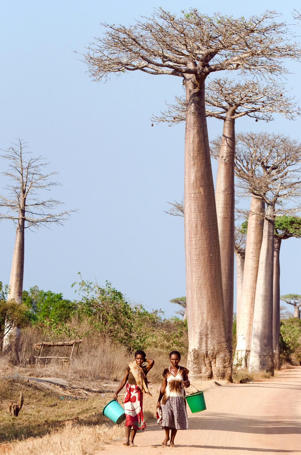MADAGASCAR_BAOBAB_SPIRITEDPURSUIT