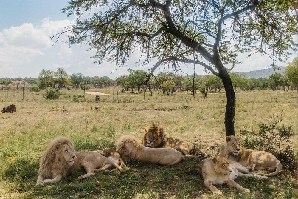 spiritedpursuit_leelitumbe_lionsafaripark-15.jpg