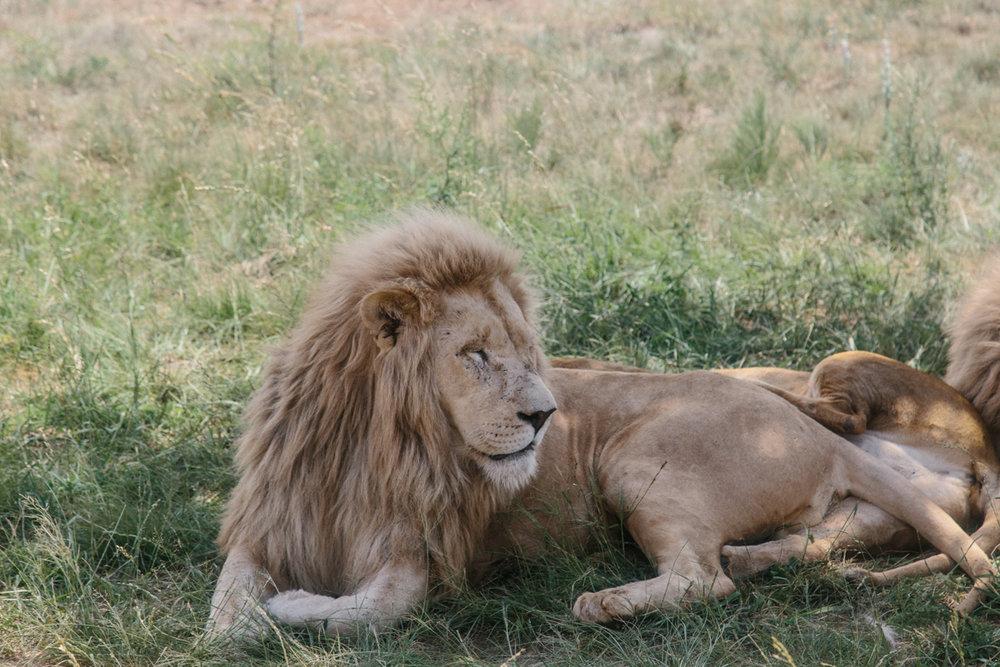 spiritedpursuit_leelitumbe_lionsafaripark-16.jpg