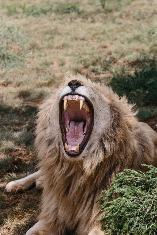 spiritedpursuit_leelitumbe_lionsafaripark-10.jpg