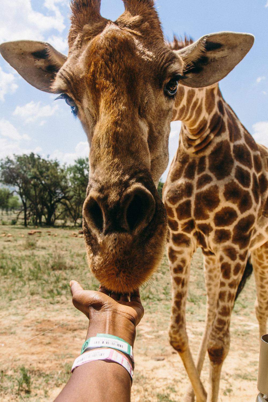 spiritedpursuit_leelitumbe_lionsafaripark-24.jpg