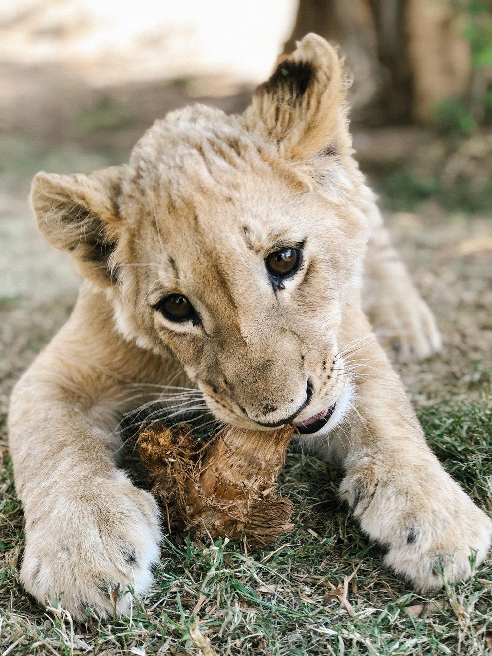 spiritedpursuit_leelitumbe_lionsafaripark-63.jpg