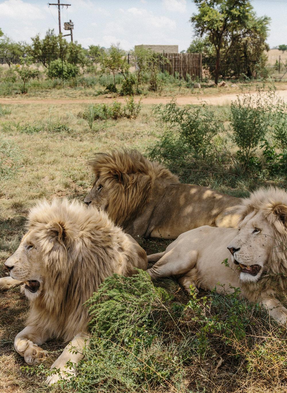 spiritedpursuit_leelitumbe_lionsafaripark-8.jpg
