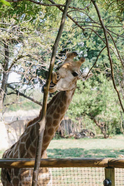 spiritedpursuit_leelitumbe_lionsafaripark-47.jpg