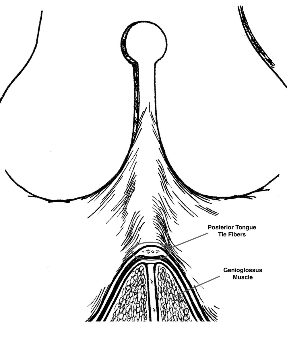 PTT fibers are centrally located in a layer above the genioglossus muscle