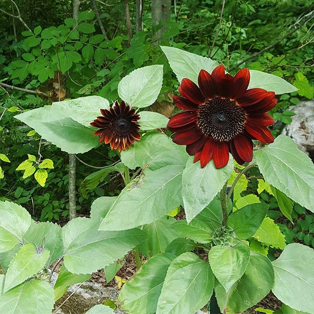 Love this blood orange sunflower growing in my mum's organic vegetable garden. 🌻 Can't wait to go visit them in a few weeks. 🇨🇦 ~~~~~~~~~~~ #Canada #plantbased #hclfvegan #vegan #vegetablegarden #sunflower