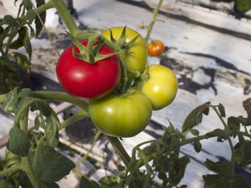 Beefsteak Tomatoes on the vine