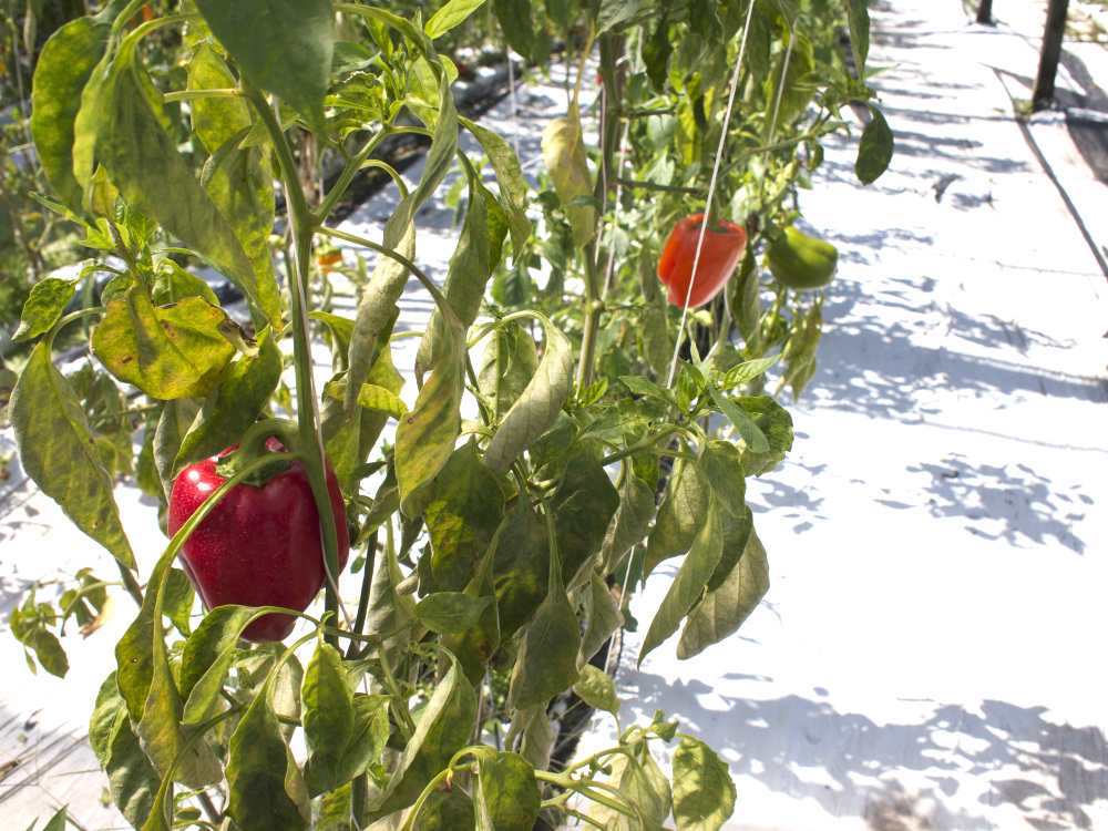 Sweet Holland Peppers on the vine
