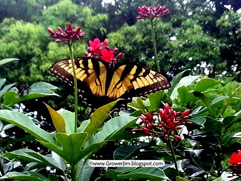 grower jim butterfly.jpg