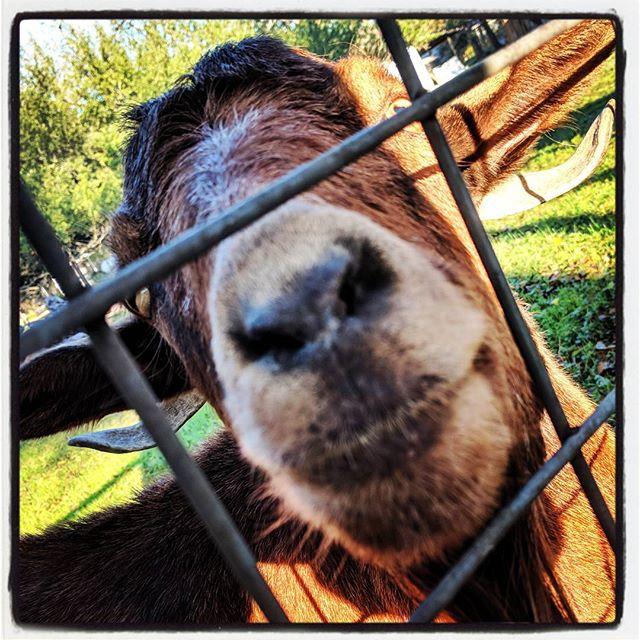 #goat
