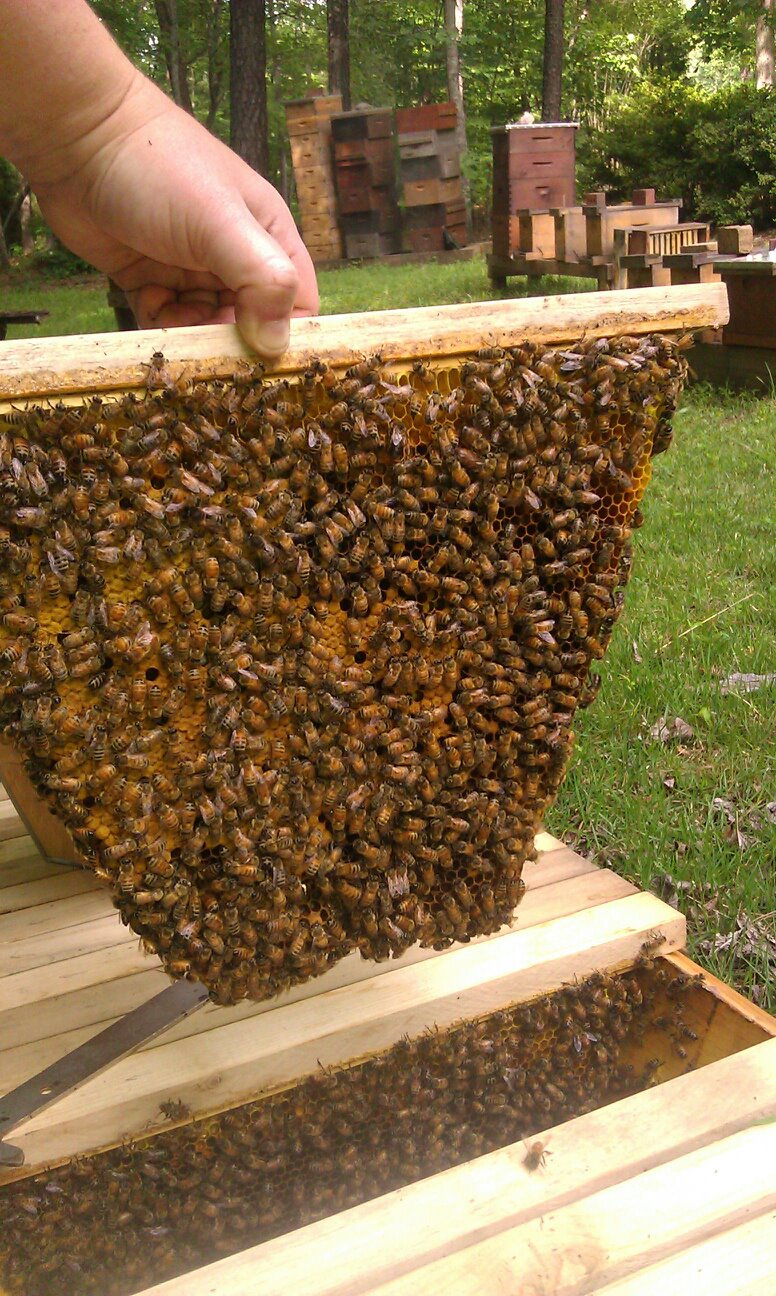 A top-bar, from a top-bar hive, 2012 (langstroth hives in the background)