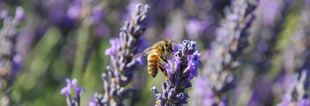 honey-bee-on-heather.1024x352.png