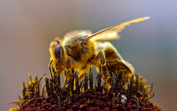 honey-bee.jon-sullivan.2004-08-14.public-domain.thumb.png