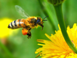 honey-bee-pollinating.thumb.png