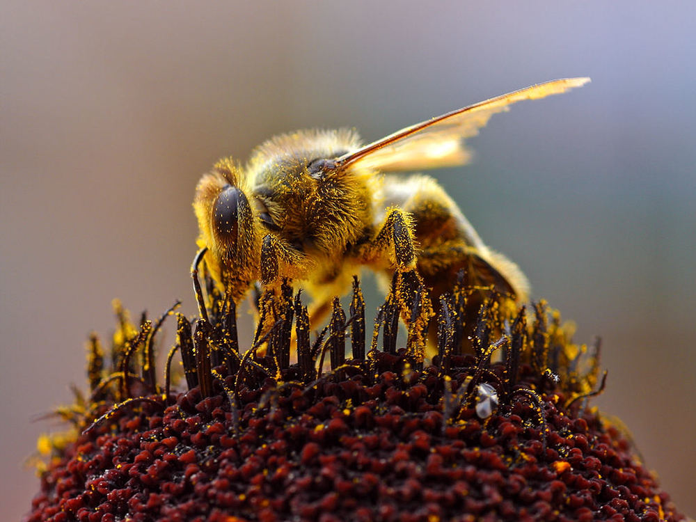 honey-bee.jon-sullivan.2004-08-14.public-domain.png