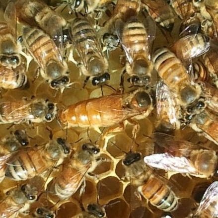 Honey Bee Queen and her retinue of caretakers.