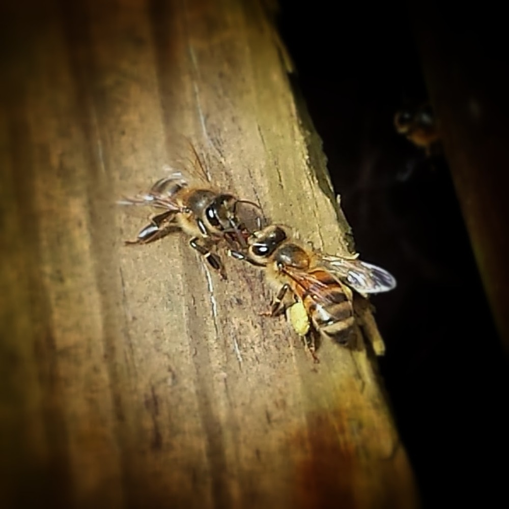 Two honey bee workers (female) are shown conversing and exchanging food (trophallaxis). The honey bee on the right is carrying a load of pollen. Maple, to be precise. Picture taken on February 20th, 2014 in Pittsboro by Monica Warner.