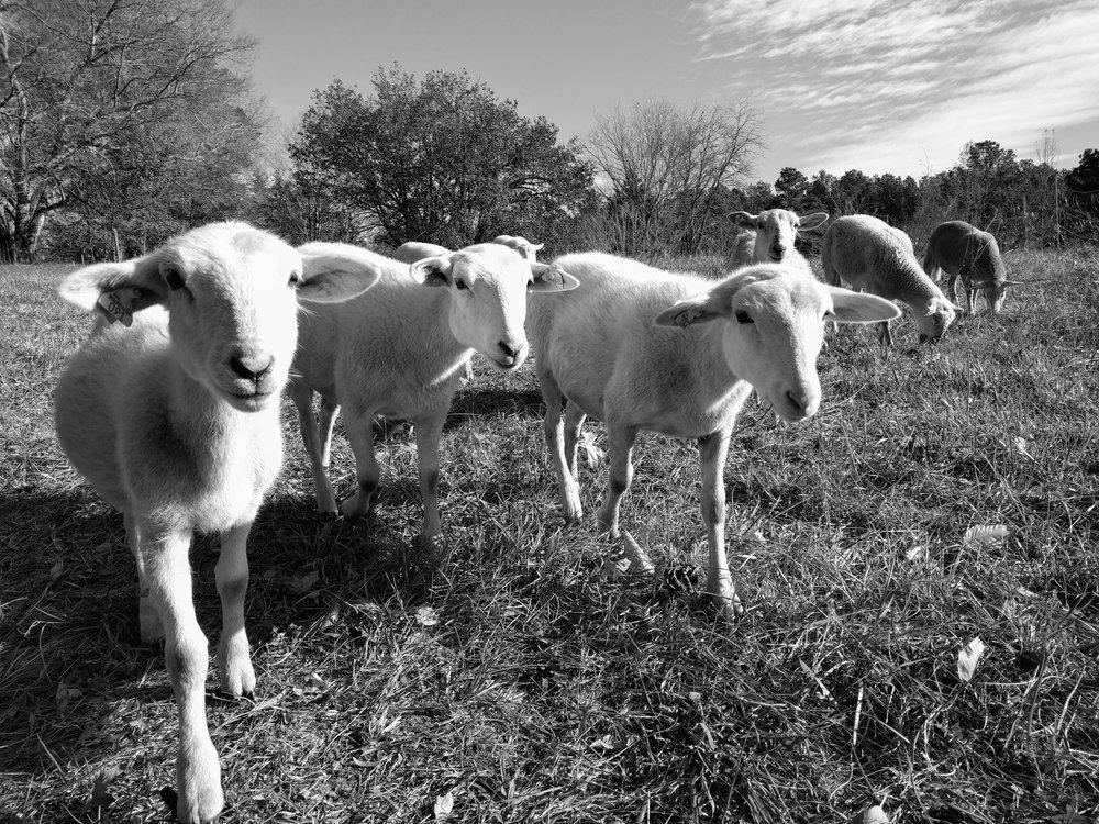 sheep-2016-11-21-bnw.00.jpg
