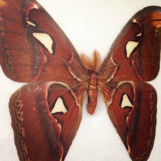 My Atlas Moth my parents gave me, they know what I like.