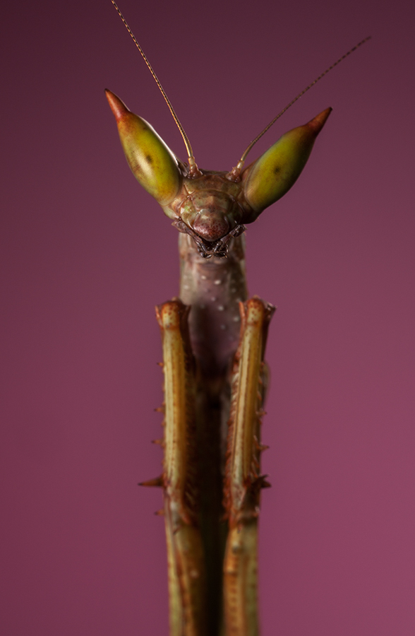 Cats Eye Mantis