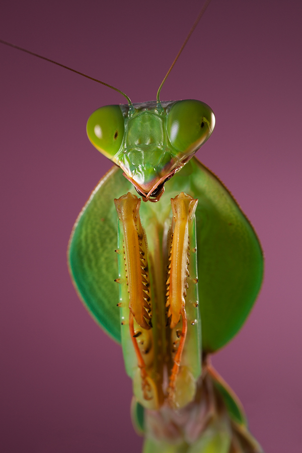 Shield Mantis