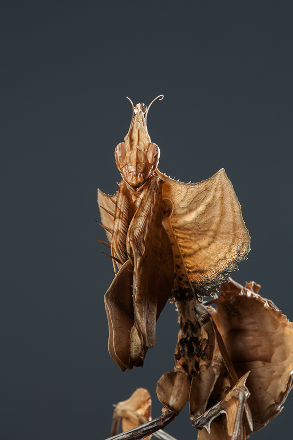 Greater Devil Flower Mantis